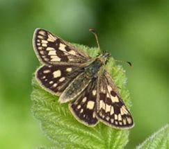 Female Chequered Skipper butterfly extinct