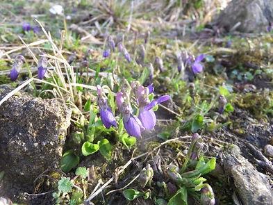 Fineshade Wood Violets