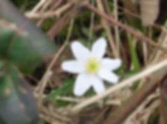 Fineshade Wood Anemone