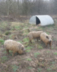 Pigs in Fineshade Wood