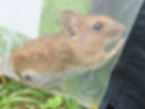 Fineshade Wood Wood Mouse