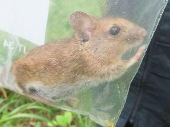 Fineshade Wood Wood Mouse
