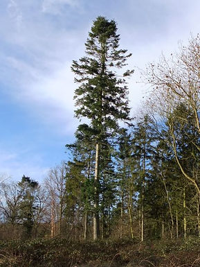 Western Hemlock  in Fineshade Wood