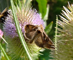 Fineshade Wood moth