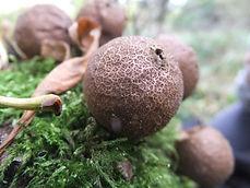 Fineshade Wood fungus Stump Puffball