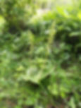 Twayblade in Far Markhams Wood