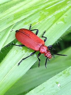 Fineshade Wood beetle