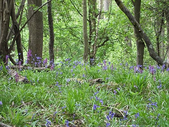 Ancient Woodland indicators in Fineshade Wood