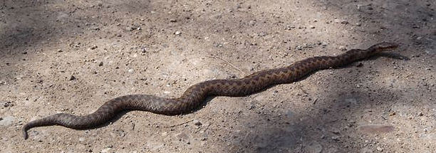 Adder crossing a vehicle track