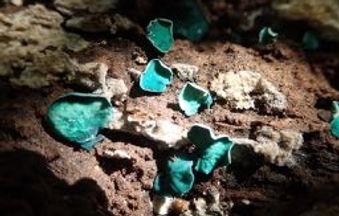 Green Elfcups - Chlorociboria aeruginasc