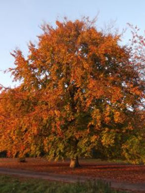 Beech at Top Lodge in Fineshade Wood