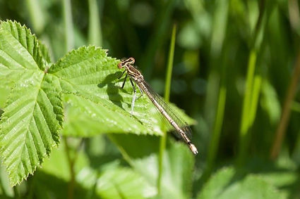 White-legged Damselfly (FFF Jamie Wildma