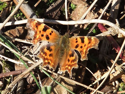 Comma Fineshade Wood