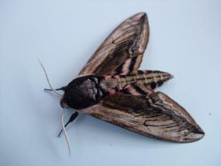 Privet Hawk-moth Fineshade Wood