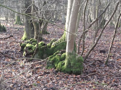 Coppice stools in Fineshade Wood