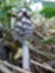 Fineshade Wood fungus Magpie Inkcap