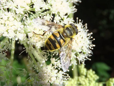 Fineshade Wood Hoverfly