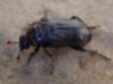 Fineshade Wood Sexton Beetle