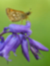 Fineshade Wood butterfly