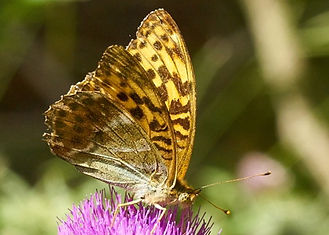 Silver washed Fritillary in Fineshade Wood Photo: Roger Eads