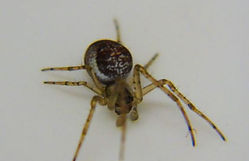 Fineshade Wood Orb Weaver Spider