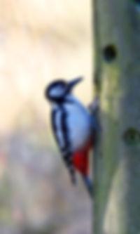 Woodpecker Fineshade Wood