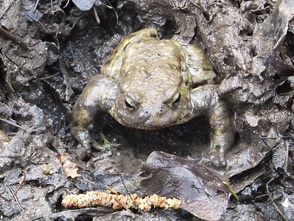 Fineshade Wood Toad