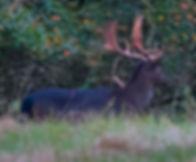 Fineshade Wood Fallow Buck melanistic