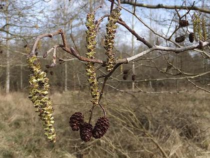 ineshade Wood alder catkins