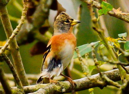 Brambling Fineshade wood