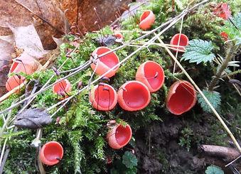 Fineshade Wood fungus Scarlet Elfcups