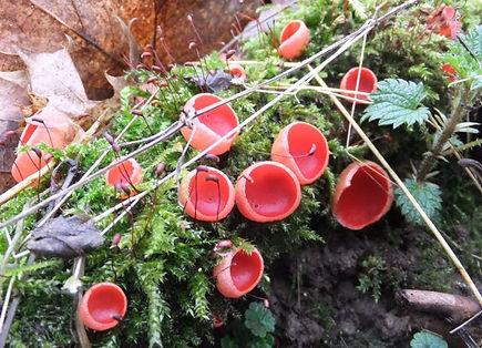 Fineshade Wood Scarlet Elfcups