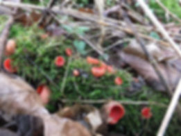Fineshade Wood Scarlet Elfcups
