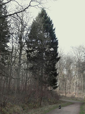 Norway Spruce  in Fineshade Wood