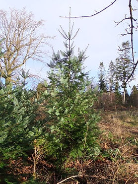 Western hemlock  in Fineshade Wood