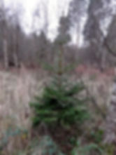 Young Norway Spruce in Fineshade Wood