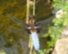 Fineshade Wood Dragonfly