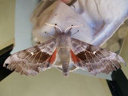 Fineshade Wood hawk-moth
