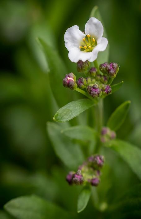 01 Sweet Alyssum Lobularia maritima.jpg