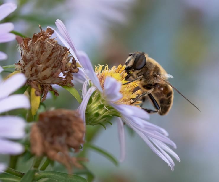 Dronefly & Flower 11.10.2020.jpg