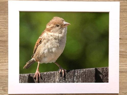 Female house sparrow on fence