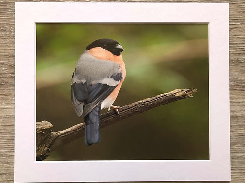 Male Bullfinch 10x8 print