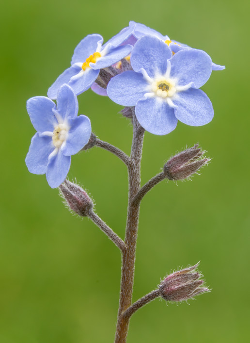Forget Me Not 16.05.2021.jpg