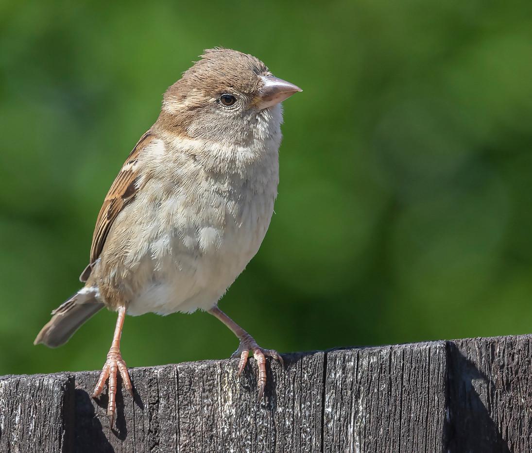 02 Female House Sparrow 21.04.2020.jpg