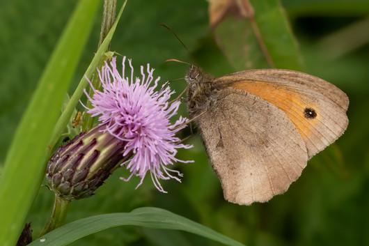 Meadow Brown Butterfly 26.07.2020.jpg