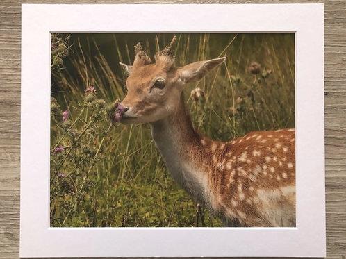 Fallow deer & thistle