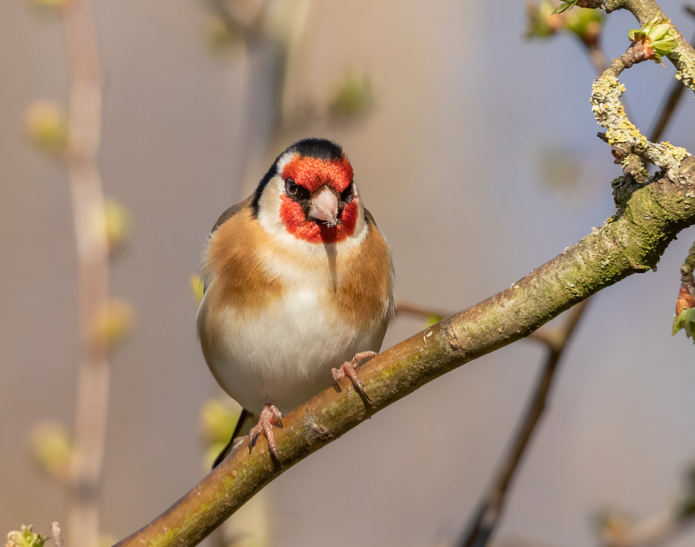 Goldfinch 06.04.21.jpg