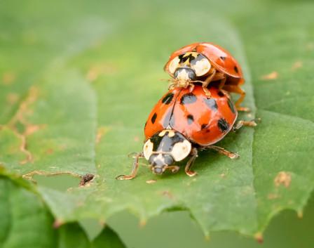 Mating Ladybirds.jpg