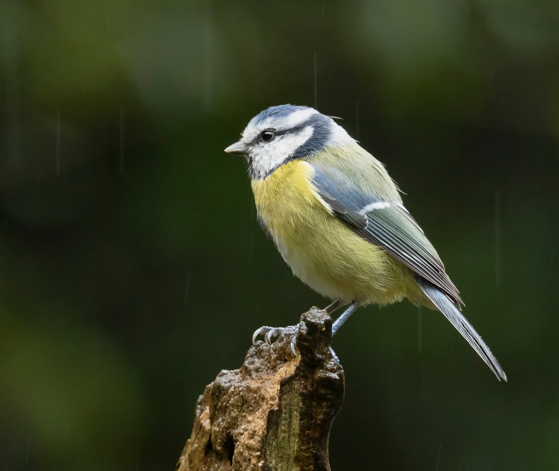 Blue tit in the rain.jpg