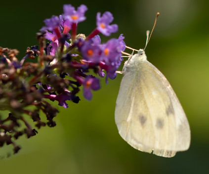 Cabbage White Butterfly.jpg